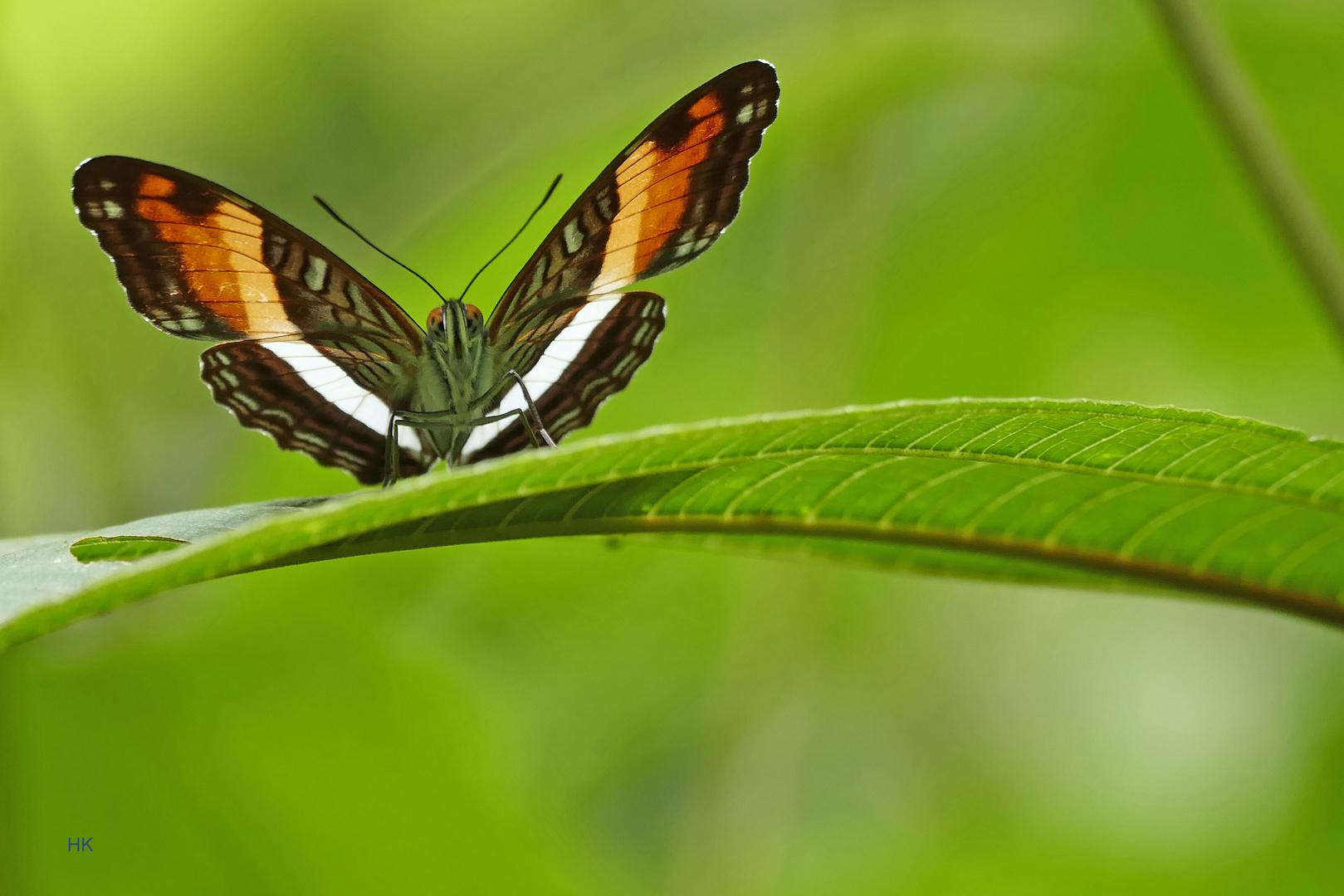 Durchleuchtet !!! Adelpha phylaca pseudaethalia  (Phylaca Sister)