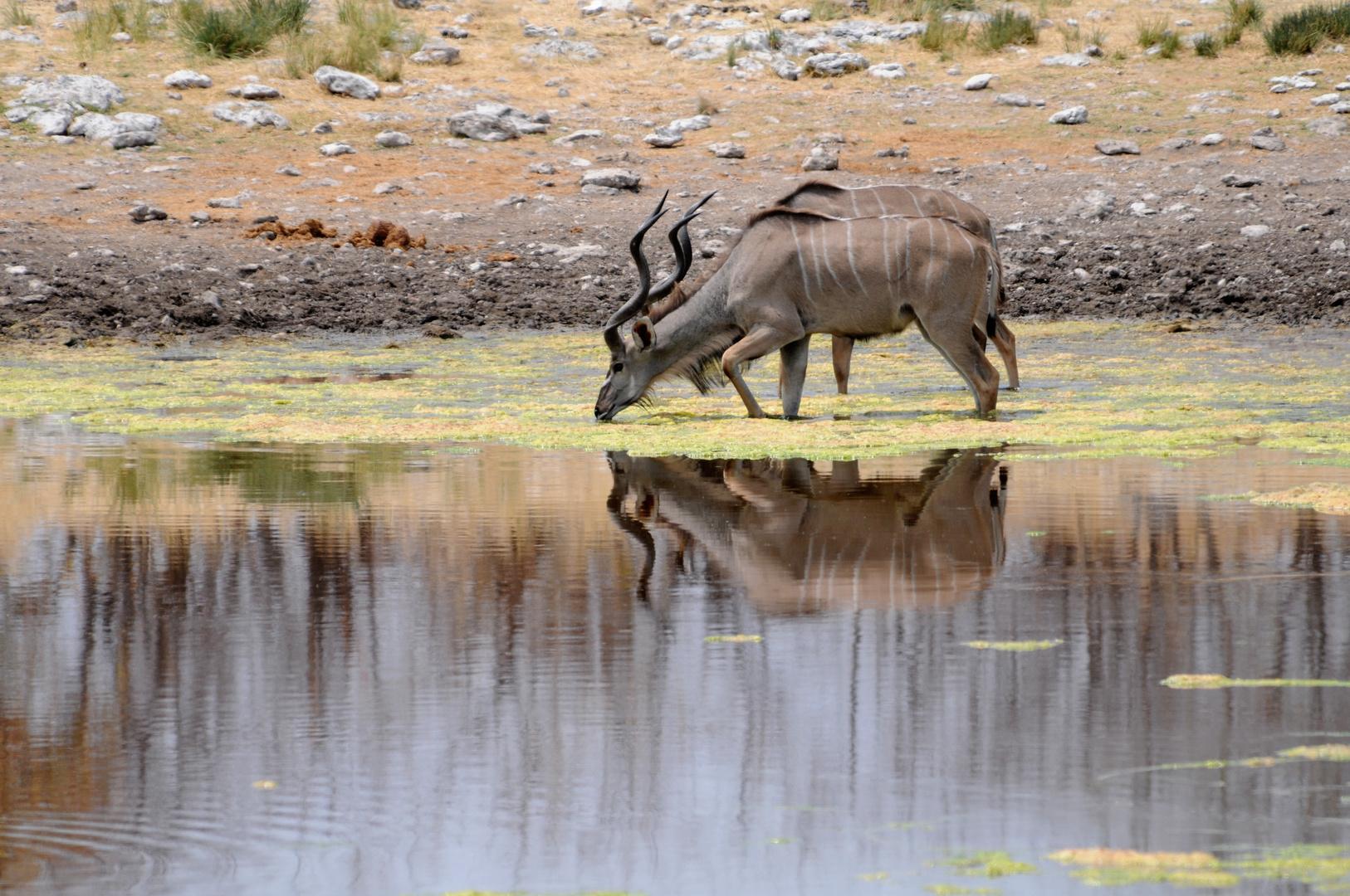 Durst löschen - 2 Kudu's am bzw. im Wasserloch