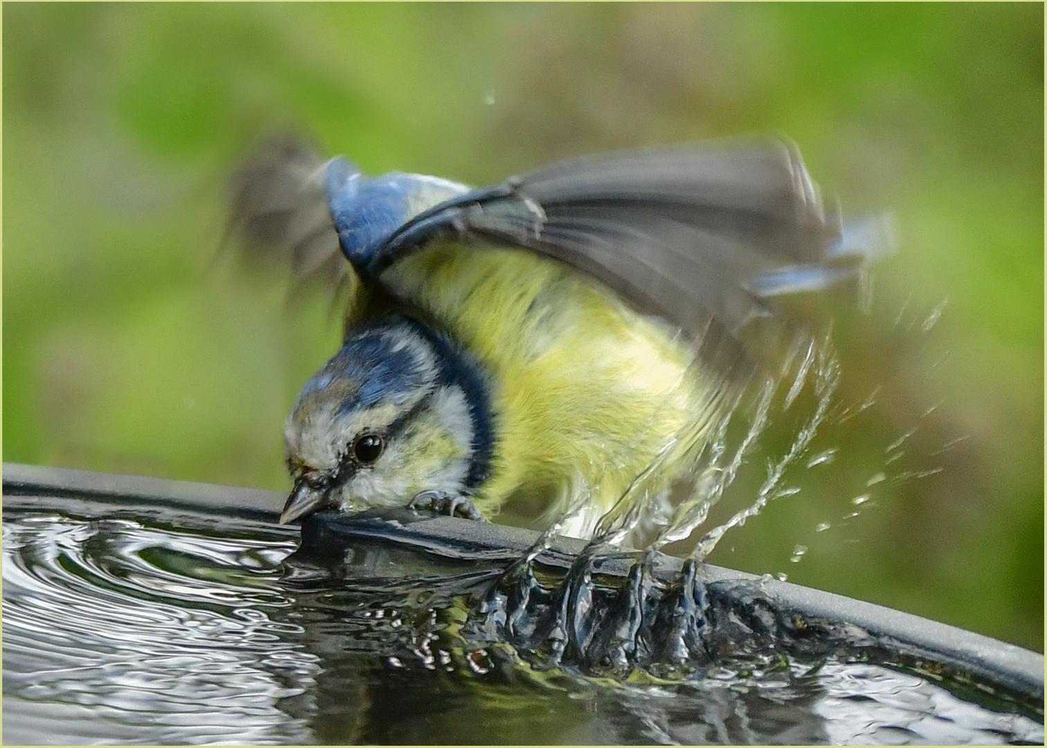 Durstige Blaumeise