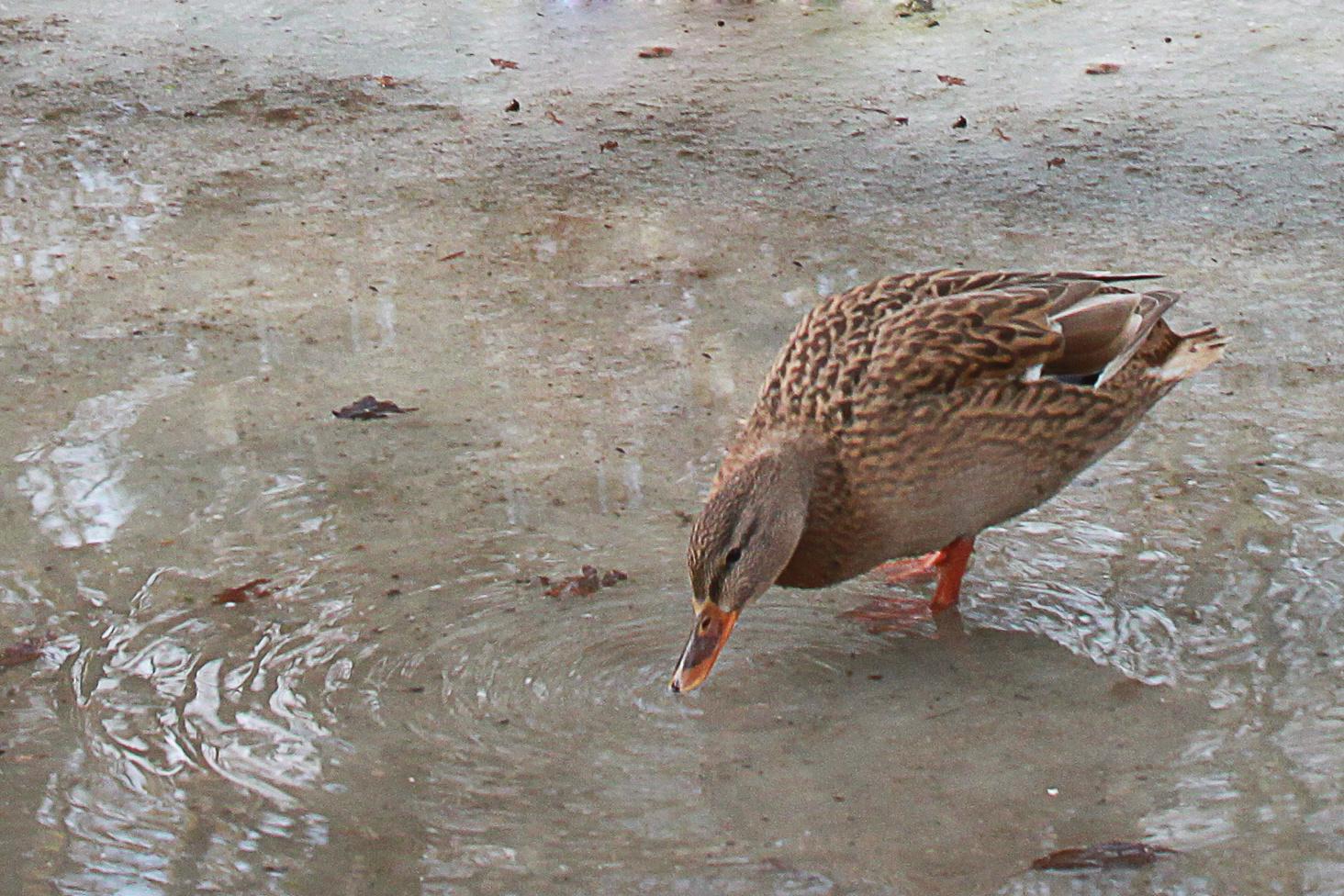 Durstige Ente