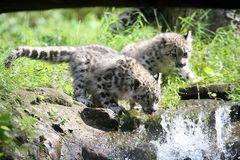 Durstige Schneeleopard-Jungtiere