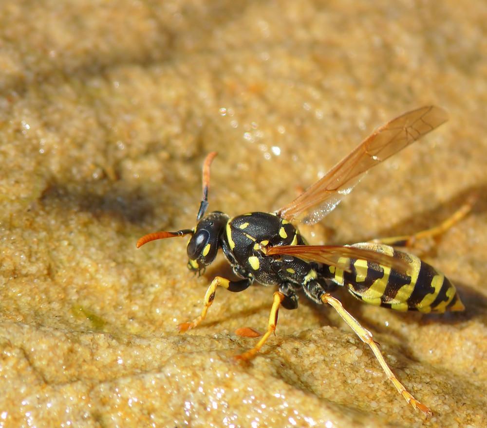 Durstige Wespe am Gartenteîch