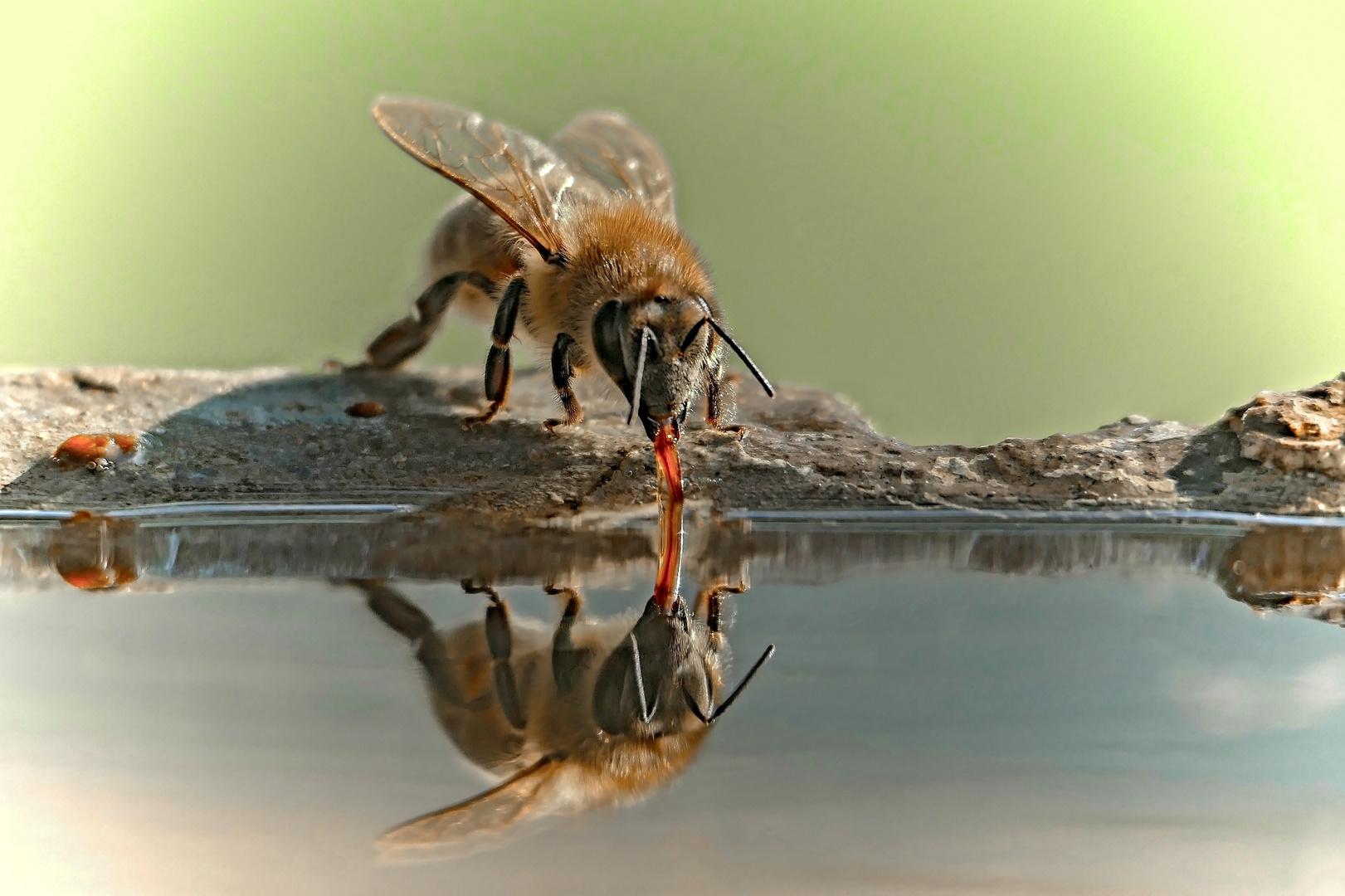 Durstige Wildbiene