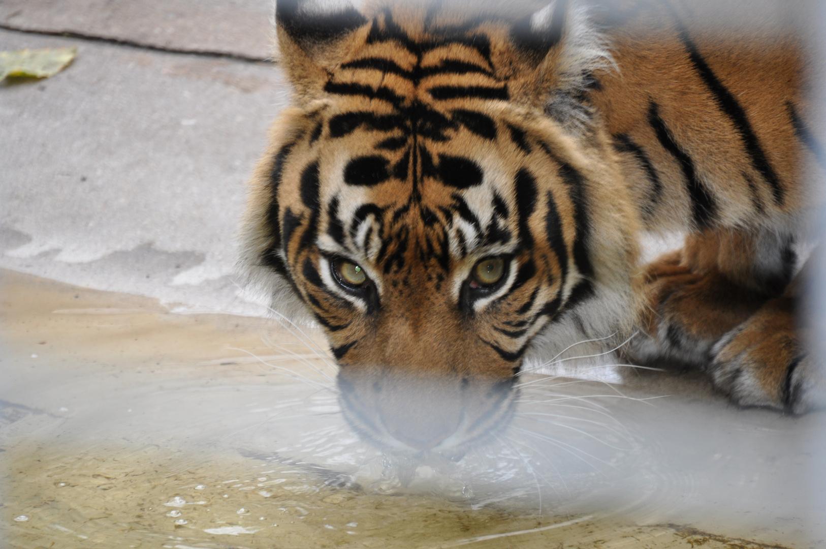 Durstiger Tiger!