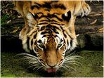 Durstiger Tiger - part one -