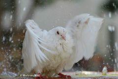 duschende Taube