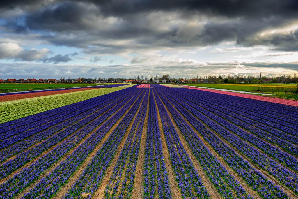 Dutch Flower bulbs 2