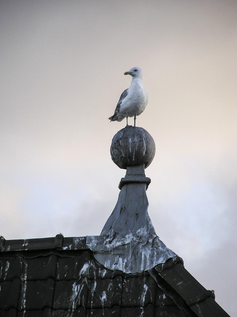 Dutch pigeon - Den Haag