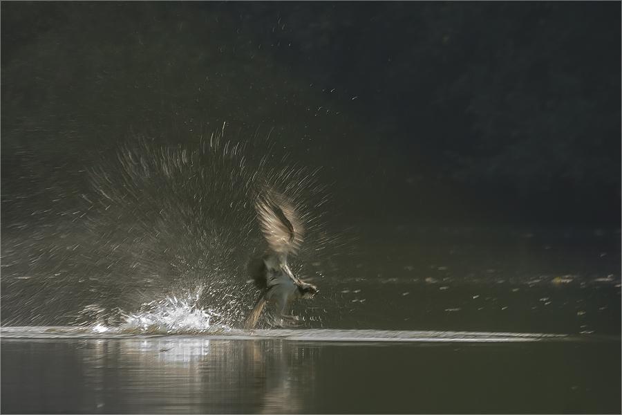 Dynamik - Der Fischadler
