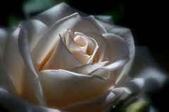 E' pur sempre una rosa....