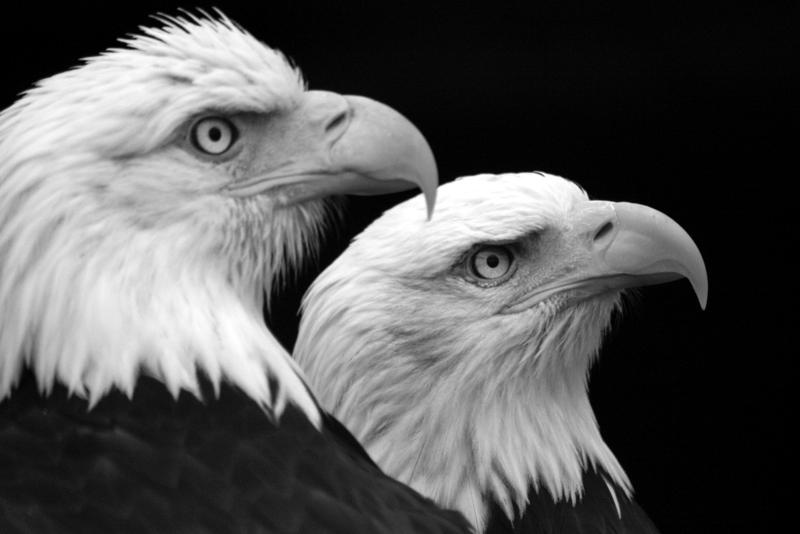 Eagle Duo