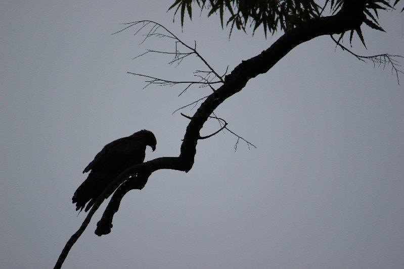 Eagle on a tree