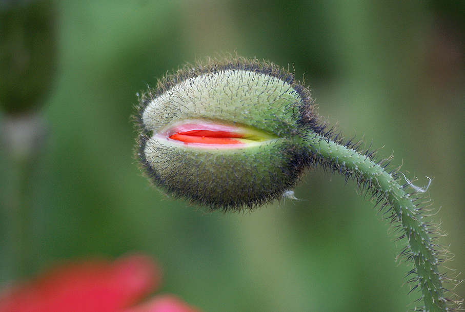 Early poppy - 2