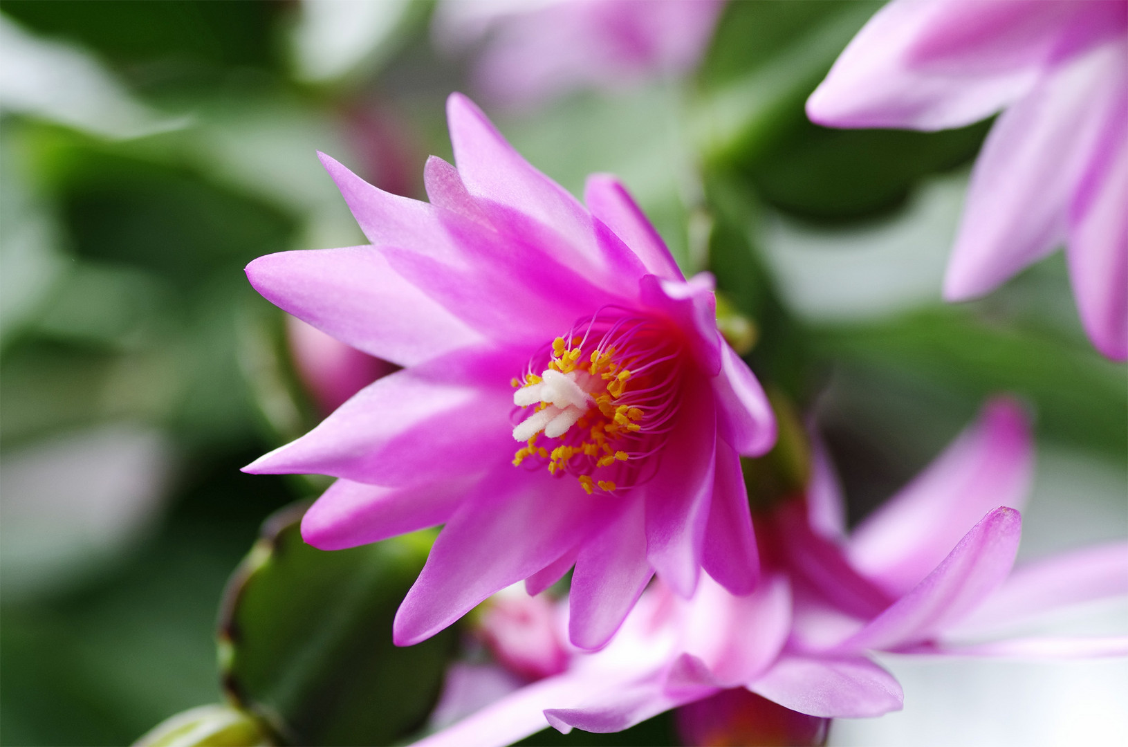 Easter Cactus - first flower