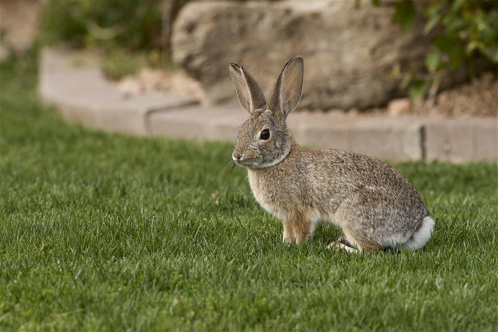 Easterbunny in my yard.