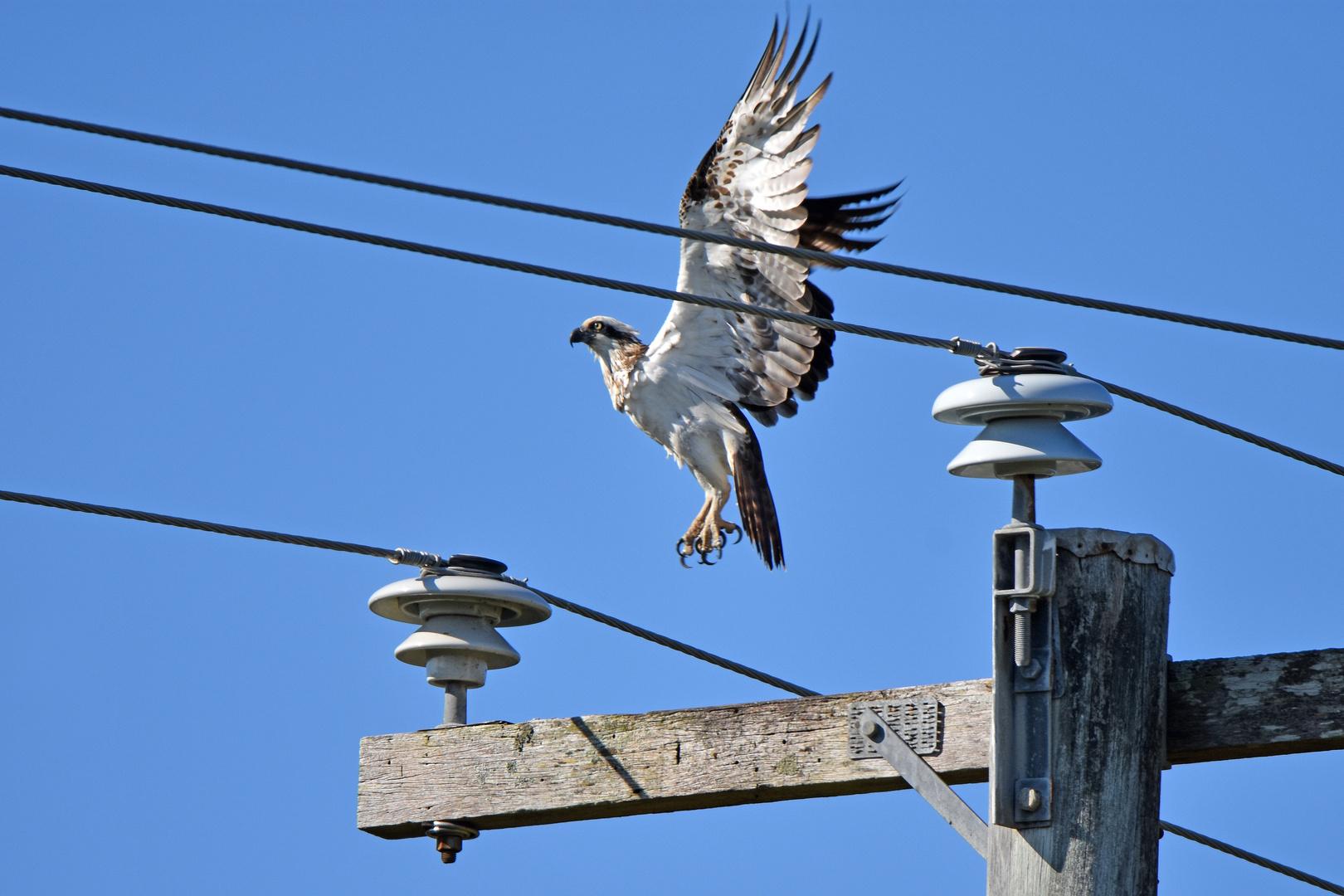 Eastern Osprey (Pandion cristatus), (2/3)