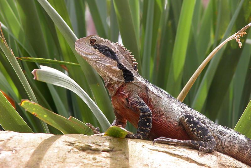 Eastern Water Dragon  (austral. Wasser Agame)