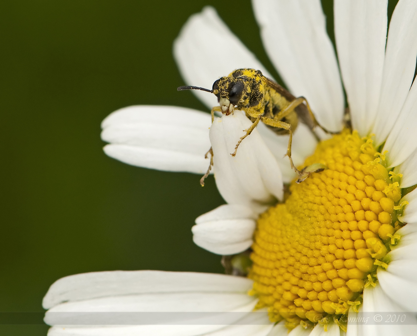 Eating Wasp