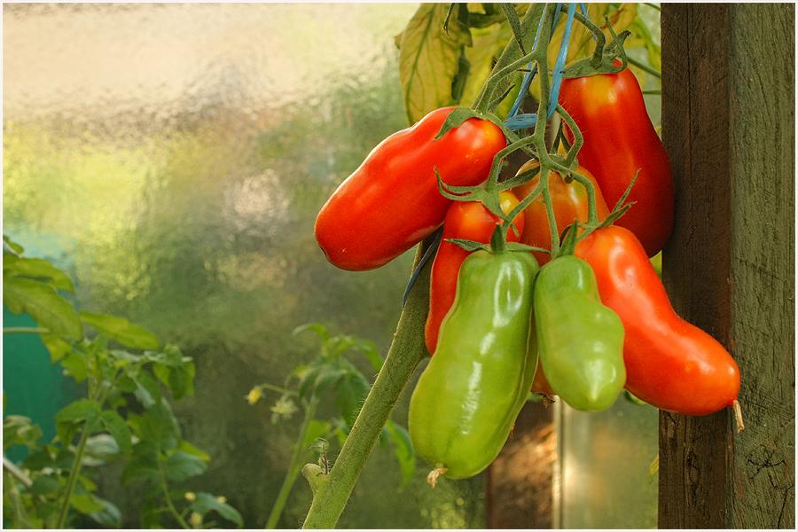eben im Tomatenhaus...