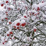 Eberesche im Winter