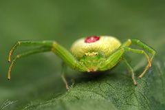 Ebrechtella tricuspidata Weibchen