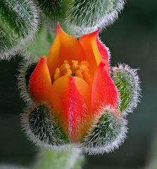Echeveria - Blüte