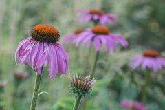 Echinacae purpurae