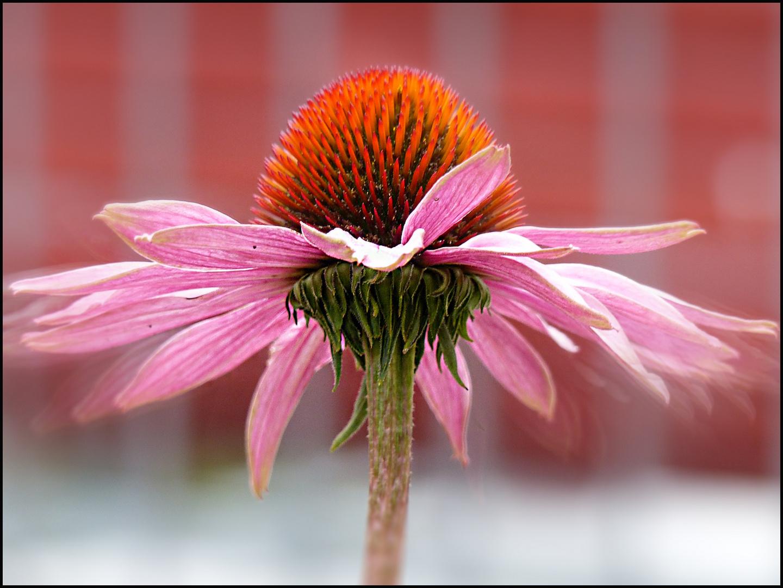 Echinacea..