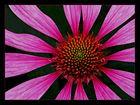 Echinacea #2