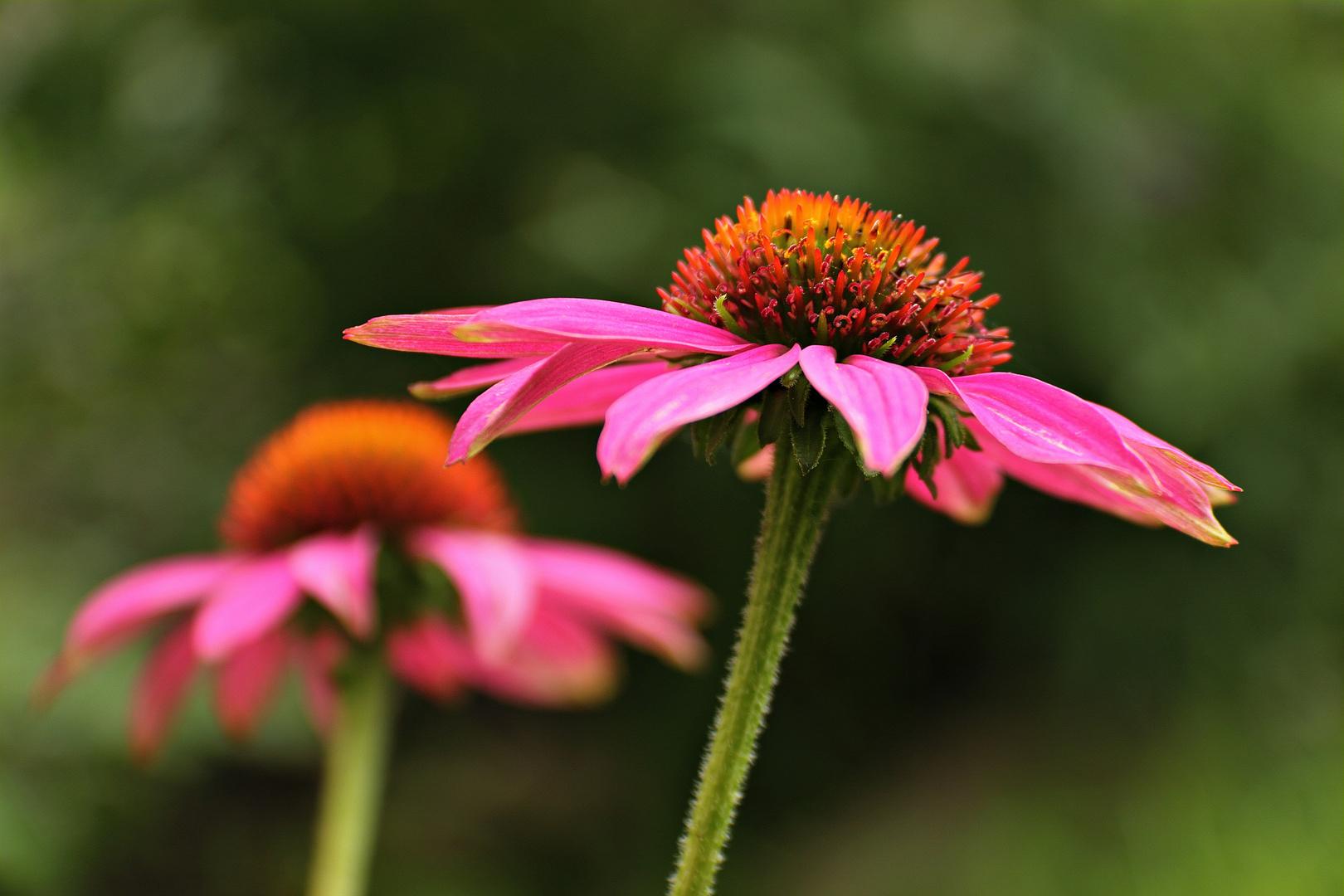 **Echinacea
