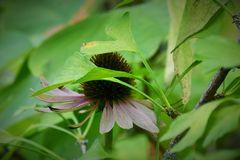 Echinacea besucht Ginkgo biloba 2
