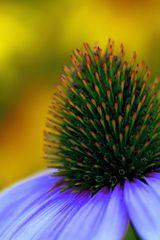 Echinacea III