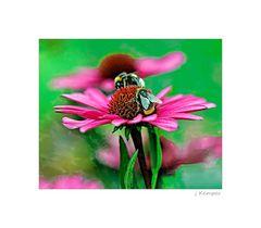 - Echinacea mit 2 Besuchern -