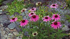 Echinacea purpurea der Start des Purpursonnenhutes...