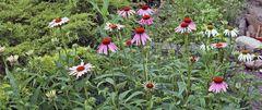 Echinacea purpurea meine Sommerlieblingstauden  am Beginn...