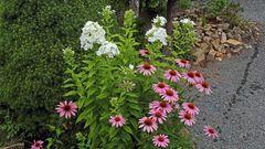 Echinacea purpurea , Purpursonnenhut und andere Stauden