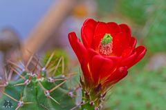 Echinocereus-Blüte-30-5