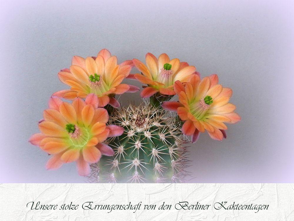 Echinocereus roetteri