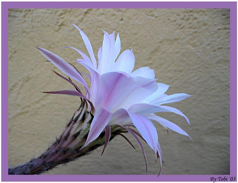 Echinopsis Blüte