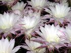 Echinopsis Blütenmeer