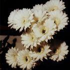 Echinopsis eyrissii_02