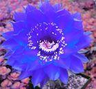 Echinopsis Hybride 'BEX 222'