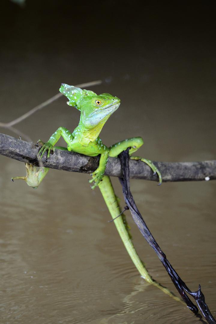 Echse am Nicaraguasee