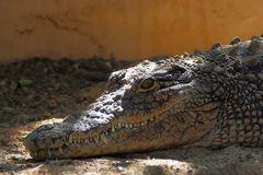 Echse im Krokodilpark, Gran Canaria (I)