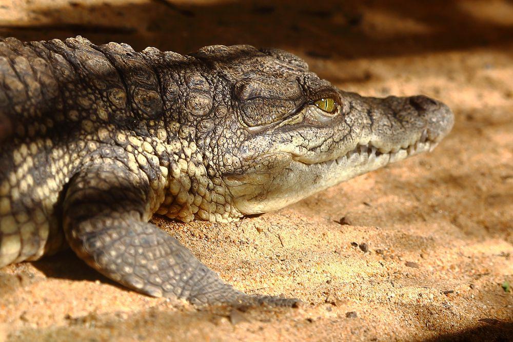 Echse im Krokodilpark, Gran Canaria (II)