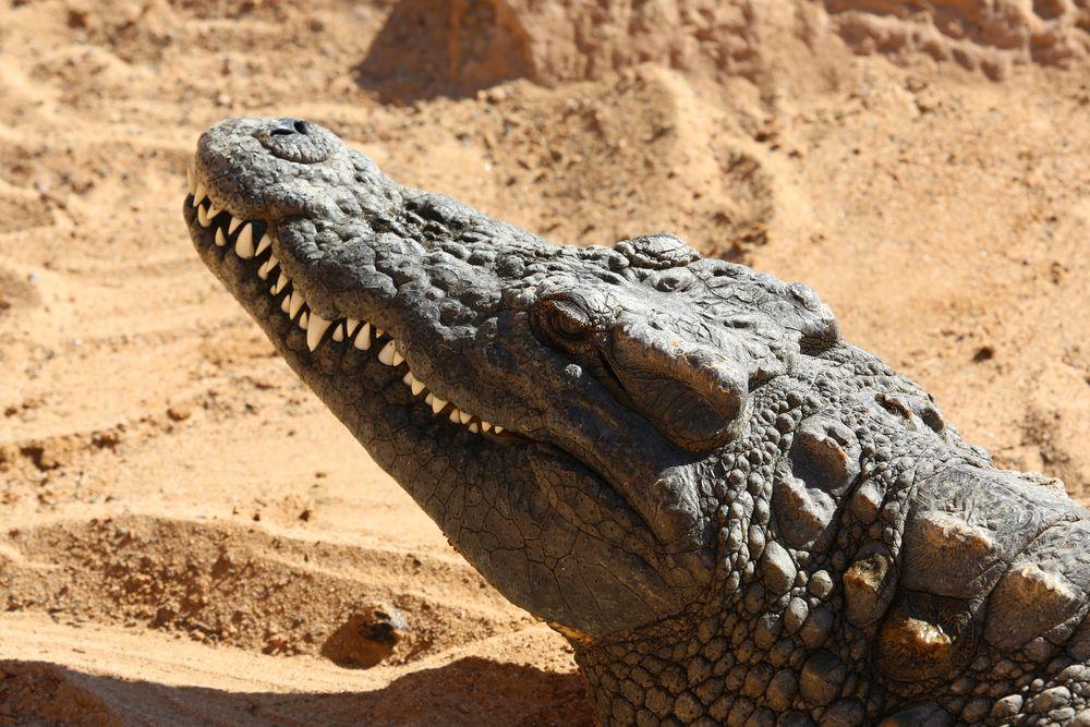 Echse im Krokodilpark, Gran Canaria (III)