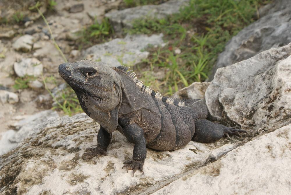 Echse in Yucatán