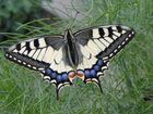 Echt nicht gezeichnet !! Wunderschöner Schmetterling