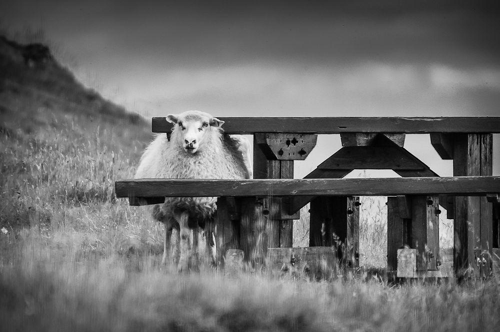 Echt Schaf!