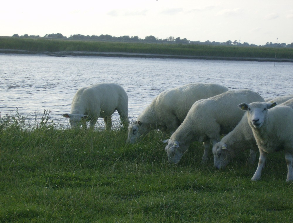 Echt Schaf